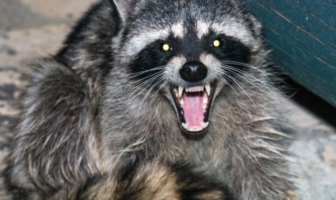 Raccoon Attack Leads To Lawsuit Against Portland Apartment Complex